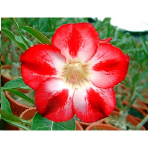 Adenium Star of Tomorrow Seeds (Adenium Obesum Seeds)