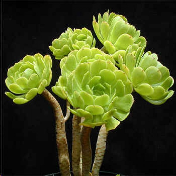 Aeonium Seeds Mix
