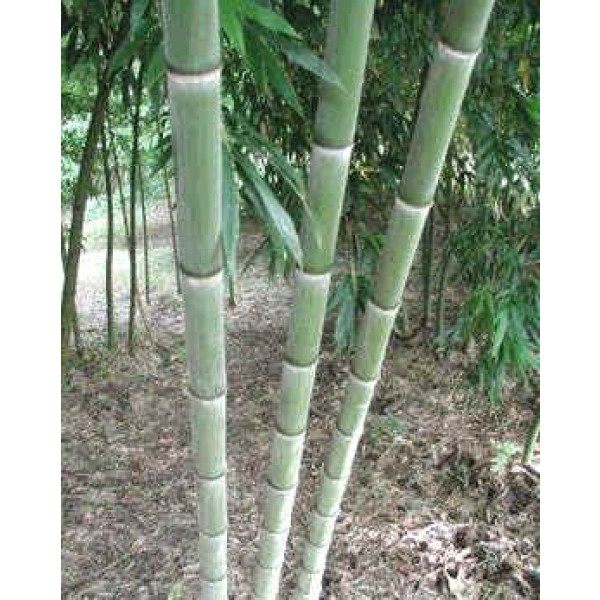 Bamboo Phyllostachys Pubescens Moso