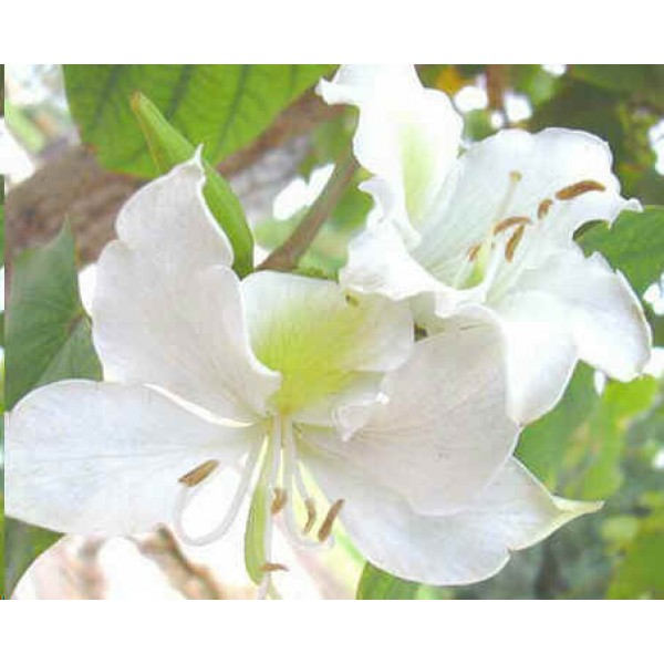 Bauhinia Purpurea White Seeds (White Orchid Tree Seeds)