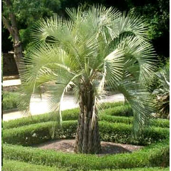 Butia Capitata Nana (Jelly Palm, Pindopalm, Wine Palm)