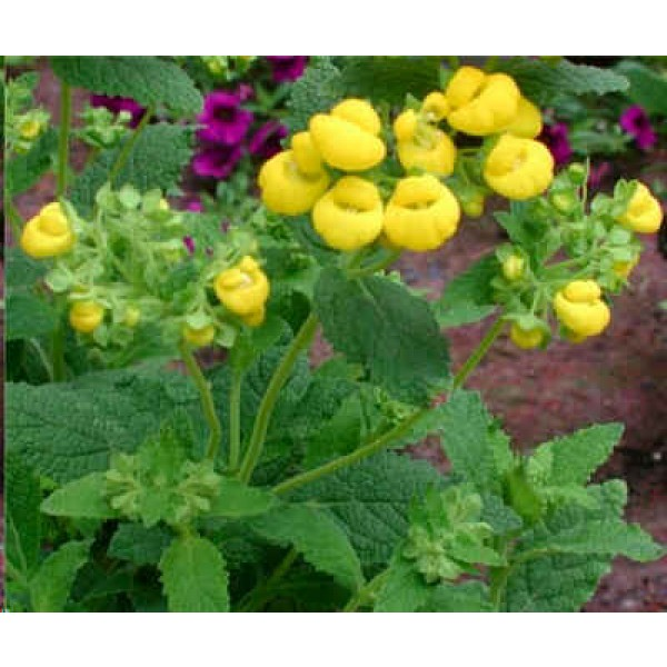 Calceolaria Integrifolia (Slipperwort, Pocketbook Plant)