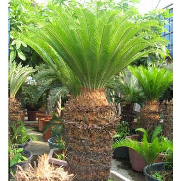 Cycas Revoluta Seeds (King Sago Palm Seeds, Cycad Seeds)