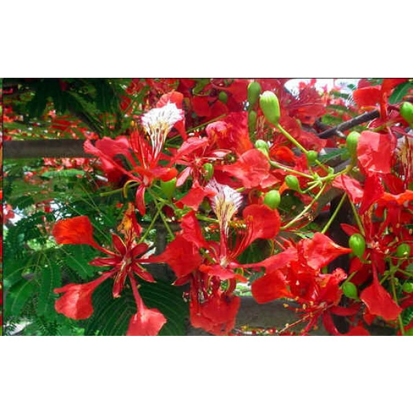 Delonix Regia Seeds (Royal Poinciana Seeds, Flame Tree Seeds)