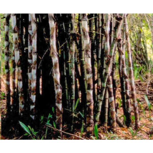Dendrocalamus Giganteus Seeds (Giant Bamboo Seeds)