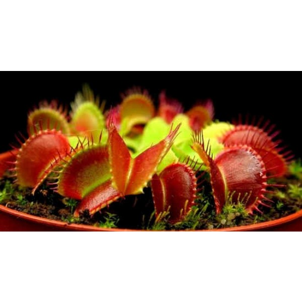 Dionaea Muscipula Seeds Mix of Other Forms (Venus Flytrap Seeds)