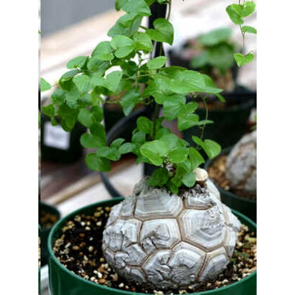 Dioscorea Elephantipes Seeds (Hottentot Bread, Turtle Shell, Caudex Seeds)