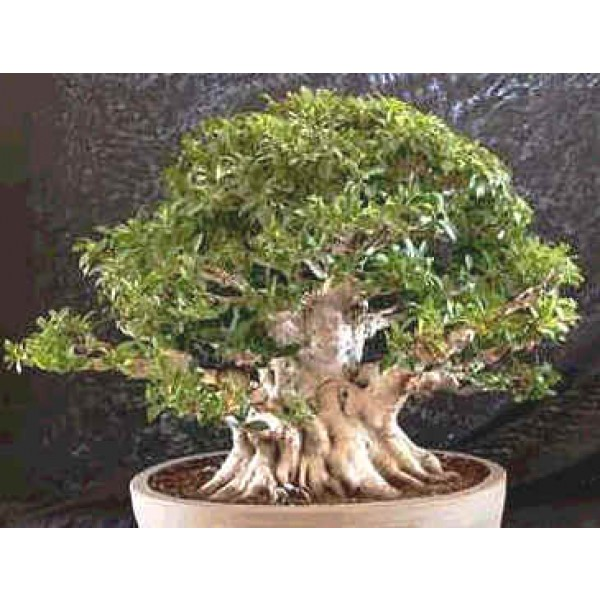 Ficus Retusa Seeds (Ficus Microcarpa Nitida, Banyan Fig, Taiwan Ficus Seeds)