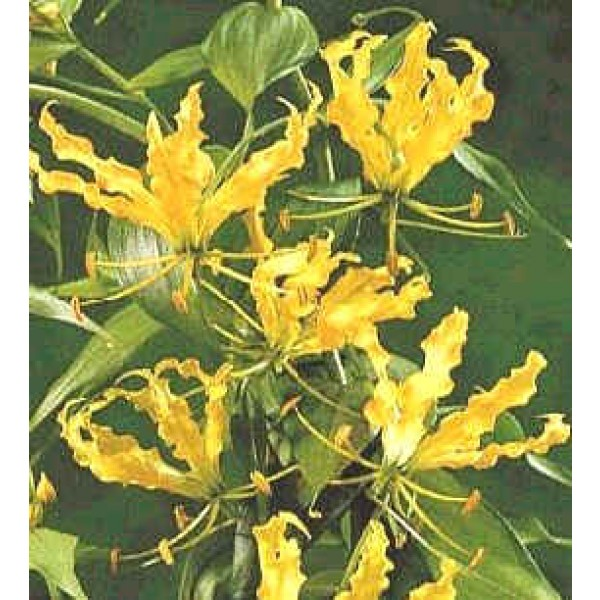 Gloriosa Lutea Seeds (Yellow Glory Lily Seeds)