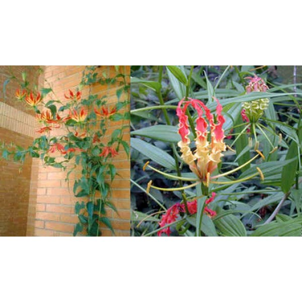 Gloriosa Rothschildiana Seeds (Glory Lily Seeds)