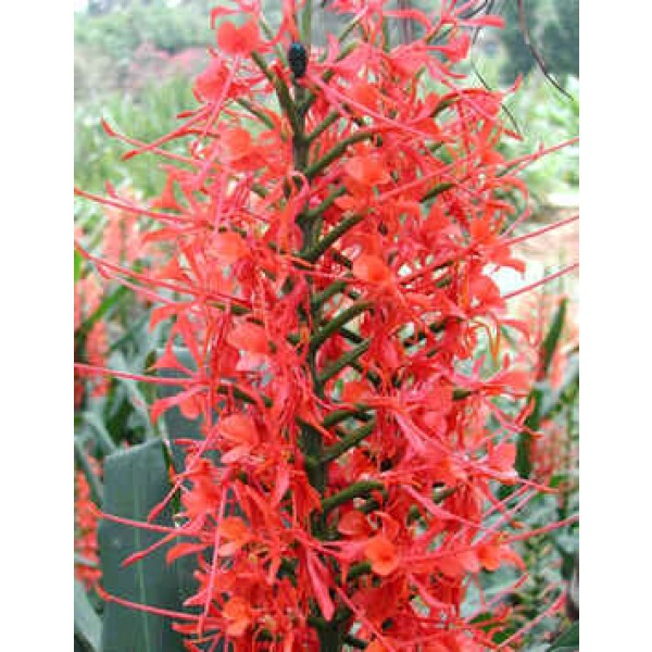 Hedychium Coccineum (Scarlet Ginger Lily)