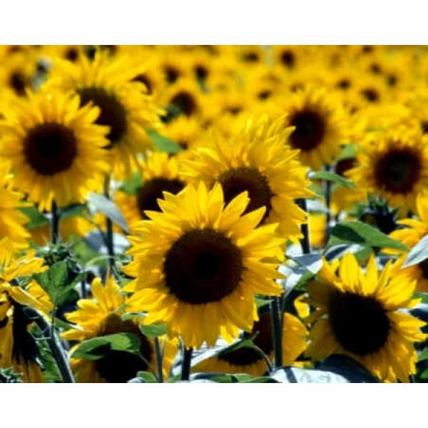 Helianthus Annuus Seeds (Sunflower Seeds)