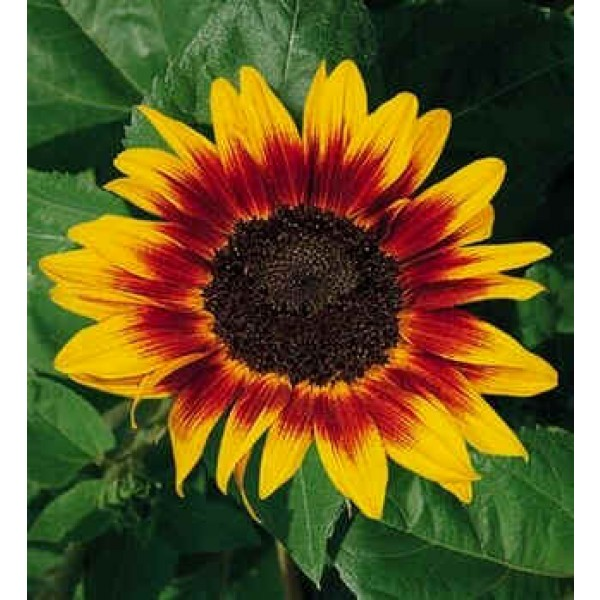 Helianthus Ring of Fire Seeds (Sunflower Plant Seeds)