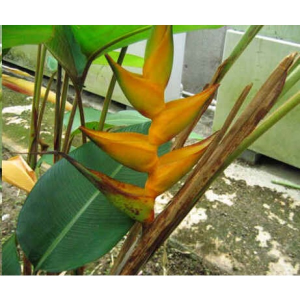 Heliconia Champneana (Mayan Gold Heliconia)