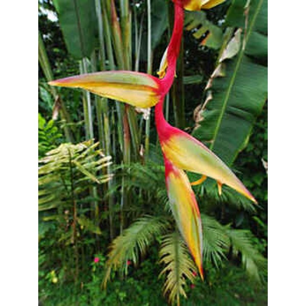 Heliconia Griggsiana Seeds (Heliconia Seeds)