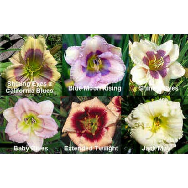 Daylily Diploid Seeds Hybrids Mix