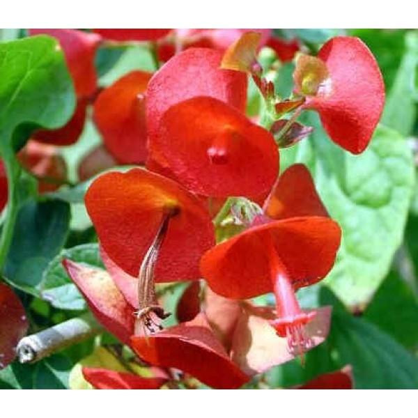 Holmskioldia Sanguinea Seeds (Chinese Hat Plant)
