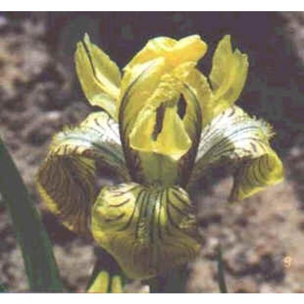 Iris Bloudowii