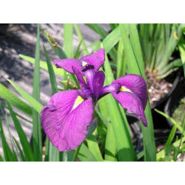 Iris Ensata (Japanese Iris)