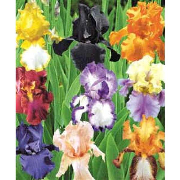 Iris Germanica (Iris Barbata, Bearded Iris)