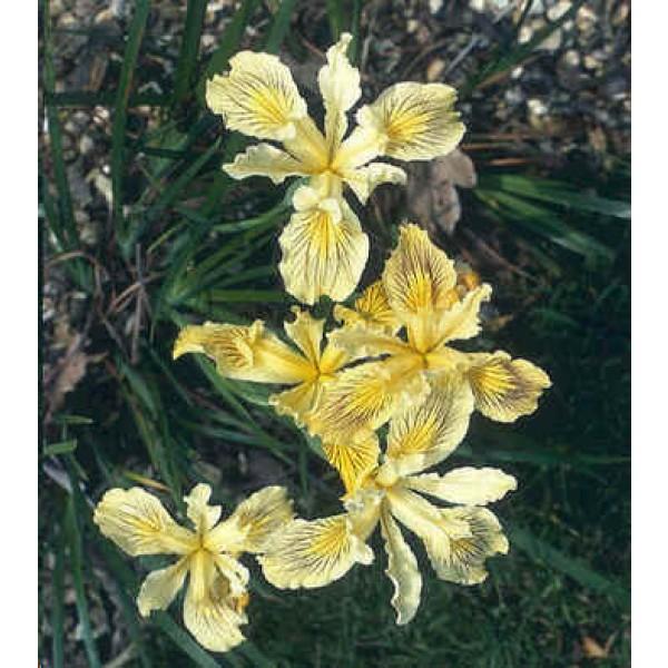 Iris Innominata
