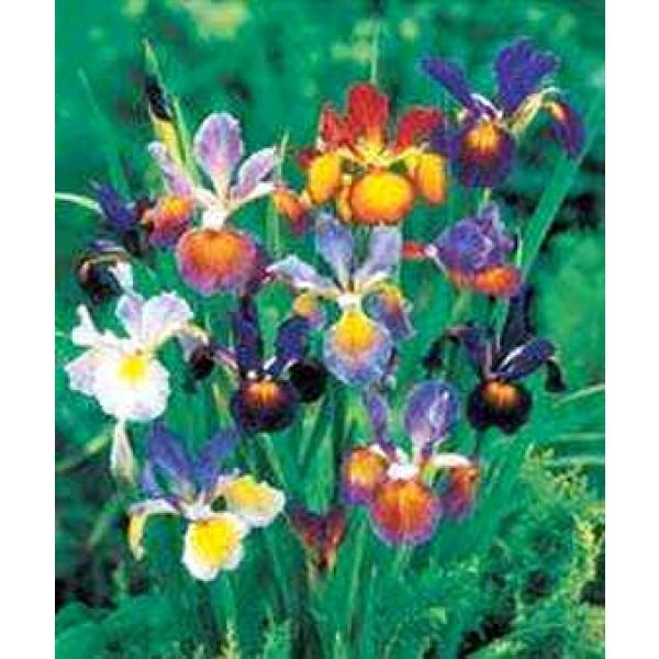 Iris Spuria (Butterfly Iris)