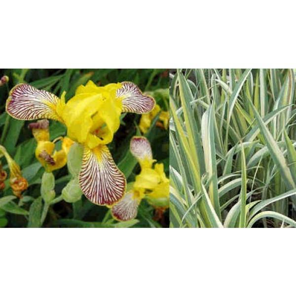 Iris Variegata Hybrids Mix