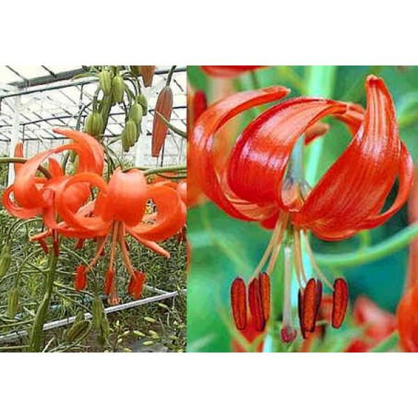 Lilium Pumilum Seeds (Lily Pumilum Seeds)