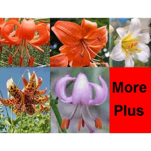 Lilium Seeds Mix (Fine Mixed Lily Seeds)
