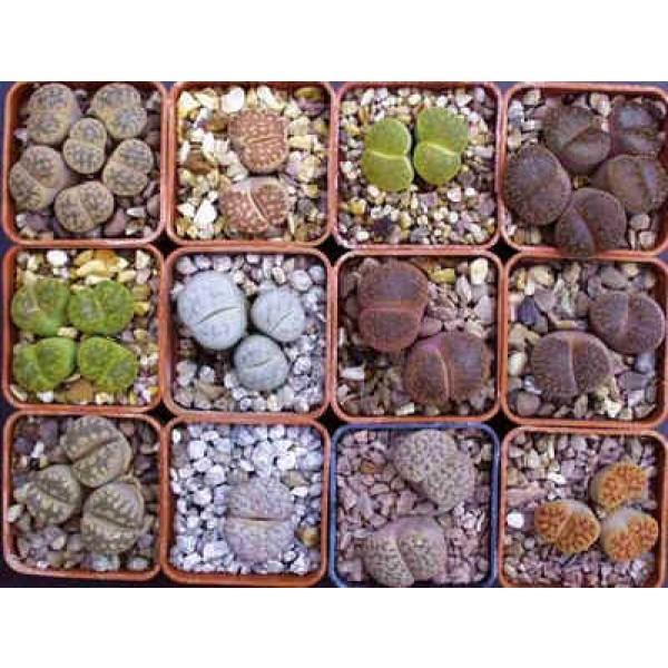 Lithops Seeds Mix (Living Stones)