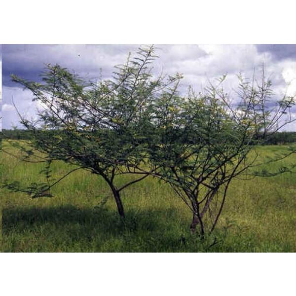 Mimosa Pigra (Giant Sensitive Tree, Catclaw Mimosa)