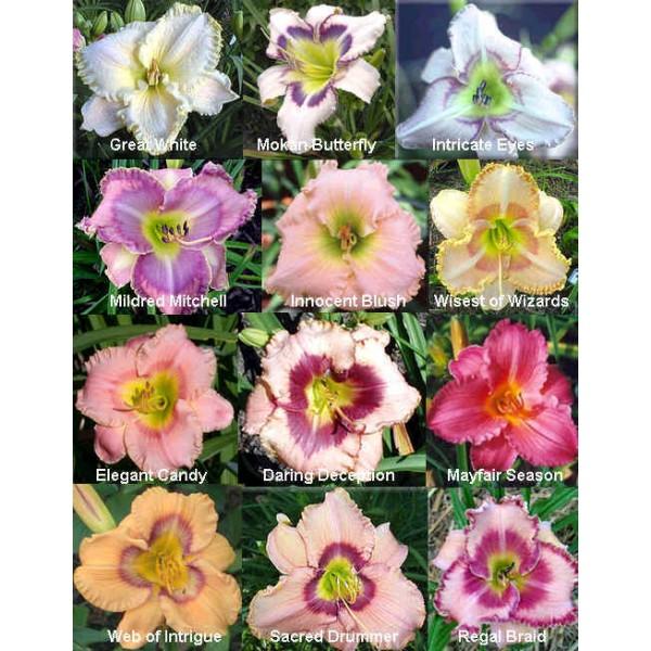 Daylily Tetraploid Seeds Hybrids Mix