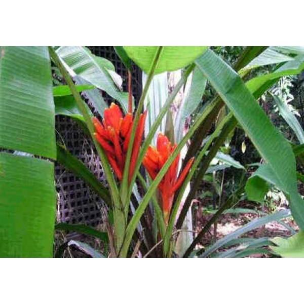 Musa Coccinea (Scarlet Banana tree)