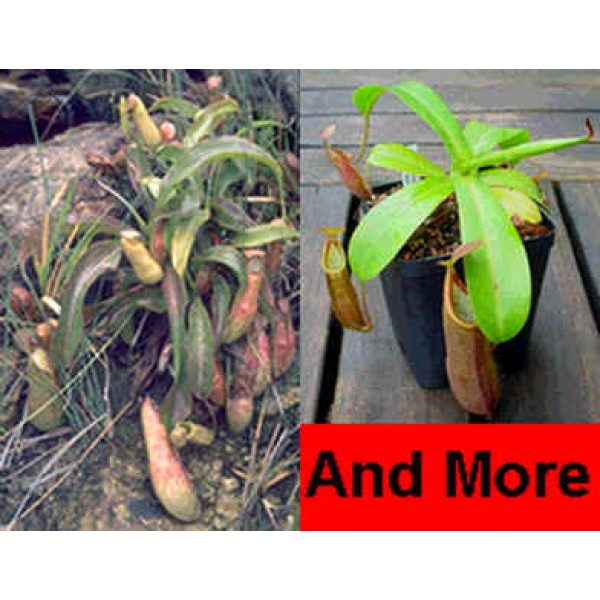Nepenthes Mix (Lowland and Highland Nepenthes)