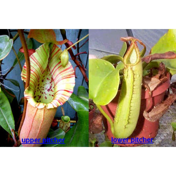 Nepenthes Truncata (Lowland Nepenthes)
