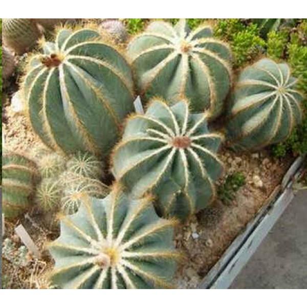 Notocactus Seeds Mix