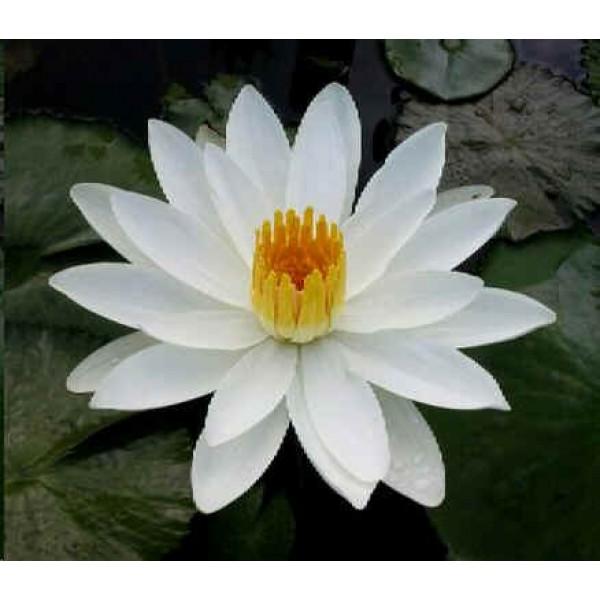 Nymphaea Juno (White Lotus)