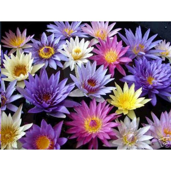 Nymphaea Seeds Mix (Blue, Pink, Purple, White, Yellow)