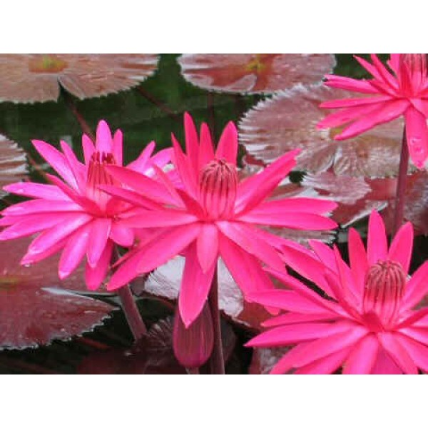 Nymphaea Red Flare (Tropical Night Blooming Water Lily)