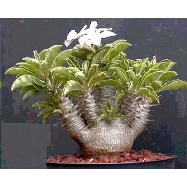 Pachypodium Saundersii Seeds (Kudu Lily Seeds, Caudex Seeds)