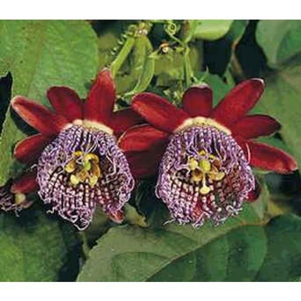 Passiflora Alata (Fragrant Granadilla)