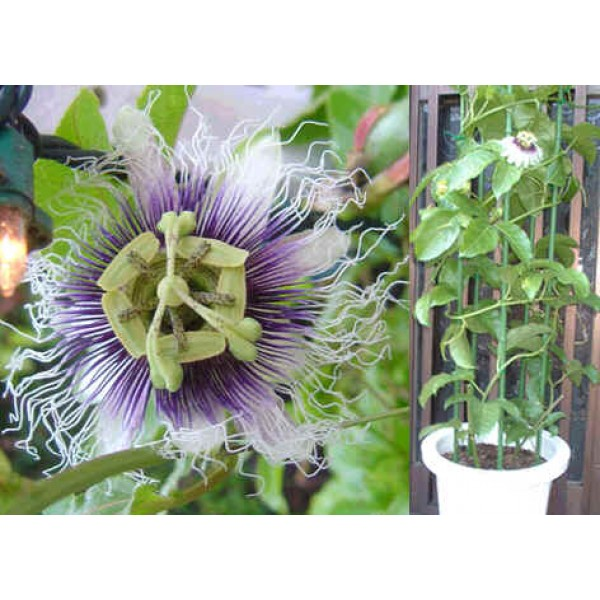 Pasiflora Edulis (Purple Granadilla)