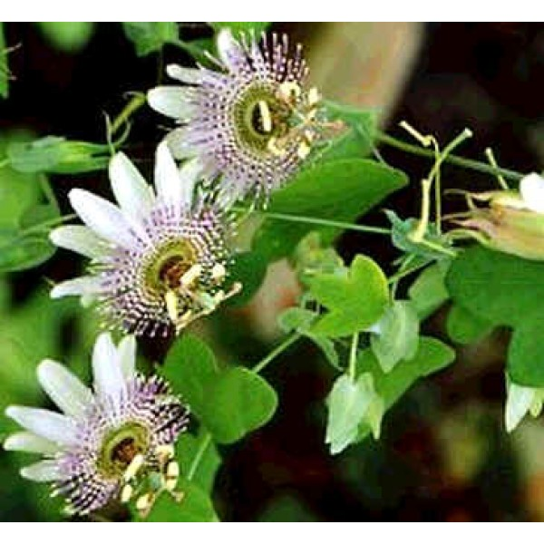 Passiflora Gilbertii (Passion Fruit, Passion Flower)