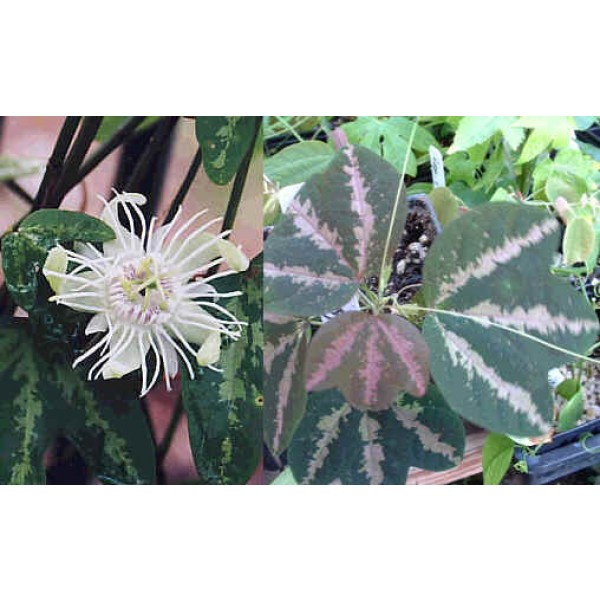 Passiflora Trifasciata Seeds (Passion Fruit, Passion Flower)