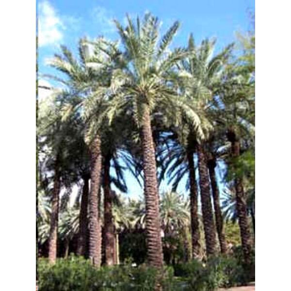 Phoenix Dactylifera Seeds (Date Palm Seeds)