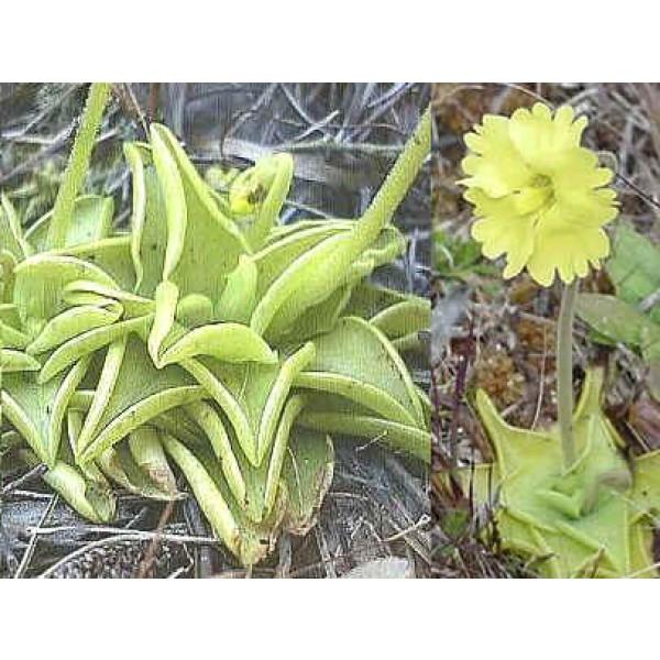 Pinguicula Lutea (Yellow Butterwort)
