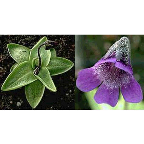 Pinguicula Vulgaris (Common Butterwort, Steepgrass, Valentine's Flower)