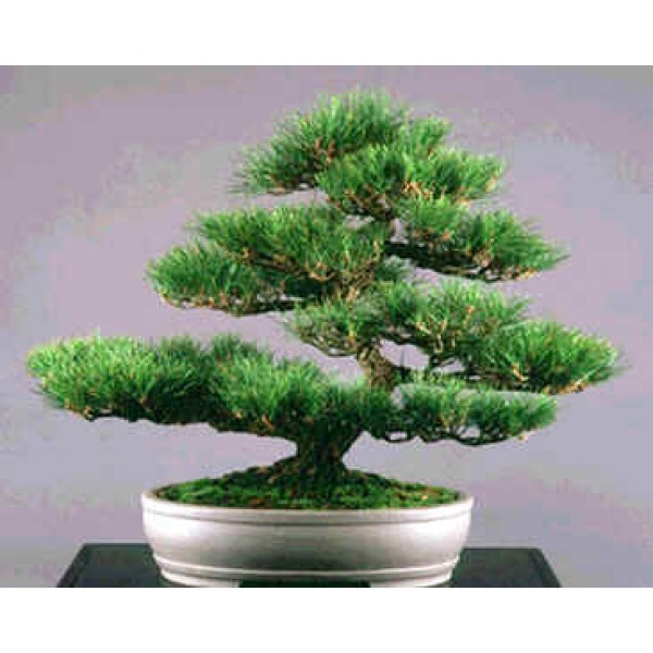 Pinus Thunbergii Seeds (Pinus Thunbergiana, Japanese Black Pine Seeds)