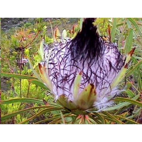 Protea Longifolia (Long-leaf Sugarbush)