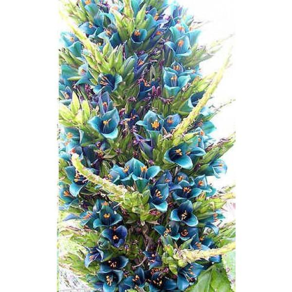 Puya Alpestris Seeds (Sapphire Tower, Bromeliaceae Seeds, Bromeliad Seeds)